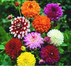 Chị em mê mẩn trồng hoa thược dược nhiều màu đón Tết - Hình 11