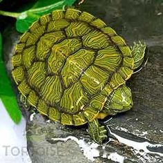 Where to buy baby red eared slider turtle for sale online baby red ear slider turtles for sale online from baby turtle for sale online turtle store turtle breeder. Baby Turtles For Sale, Baby Sea Turtles, Cute Turtles, Snake Turtle, Turtle Pond, Green Turtle, Baby Red Eared Slider, Red Eared Slider Turtle, Freshwater Turtles