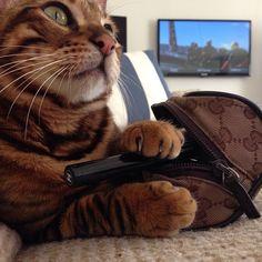 Pippa the Toyger Cats, Animals, Gatos, Animales, Animaux, Animal, Cat, Animais, Kitty