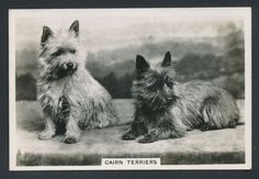 Cairn Terriers from series Dogs by Senior Service Cigarettes card #45