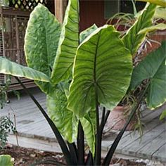 black stem elephant ears The Effective Pictures We Offer You About tropical garden ideas south flori Garden Bulbs, Shade Garden, Garden Pots, Elephant Ear Plant, Elephant Ears, Tropical Garden, Tropical Plants, Back Gardens, Outdoor Gardens