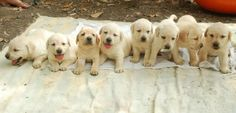 1,2,3,4,5,6,7,8 puppies