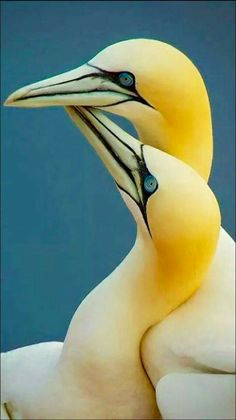 The Northern gannet (Morus bassanus) is a seabird and the largest member of the… Pretty Birds, Beautiful Birds, Animals Beautiful, Cute Animals, Pretty Animals, Funny Animals, Kinds Of Birds, All Birds, Love Birds