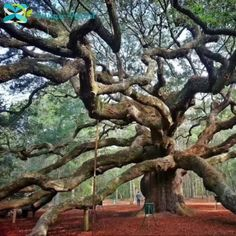 Our Amazing World.. GOD'S Creations..An app.1500 year old Angel Oak tree in South Carolina