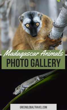 PHOTO GALLERY: Madagascar Animals, including Ring-tailed Lemurs, Chameleons, Olive Bee-Eaters, a Madagascar Grass Owl & more. Wildlife Tourism, Wildlife Conservation, Madagascar Travel, Animal Experiences, Dream Trips, Dream Vacations, Africa Travel, Culture Travel, Cute Baby Animals