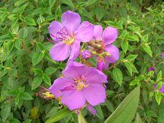 WILD TIBOUCHINA / QUARESMEIRA ARBUSTIVA | Flickr - Photo Sharing!