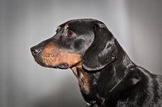 Slovenský kopov | Slovenské národné plemená psov