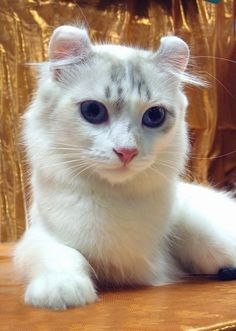 American Curl Cat American Curl cat is a type of ear is marked with a curved or curly. American Curl kittens are born with straight ears, w. American Curl, I Love Cats, Crazy Cats, Cool Cats, Cat Tree Designs, Baby Animals, Cute Animals, Purebred Cats, Cool Cat Trees