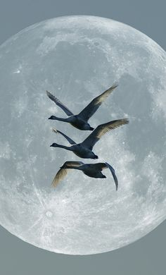 Swans in flight against a full moon