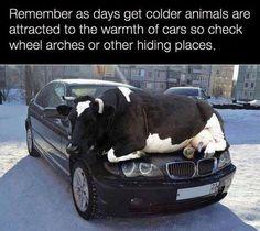 Cows like warm stuff, too.  ; )