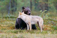 Finland Bear Watching Holiday in the Wild Taiga Arctic Wolf, Best Seasons, Wildlife Safari, Big Three, Local History, Day Tours, Brown Bear, Predator, Fly Fishing