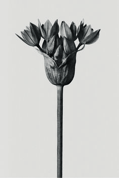 LOEWE 001 'Woman' Distinctive packaging features the photographic artwork of Karl Blossfeldt. Now available on loewe.com Botanical Flowers, Botanical Art, Botanical Illustration, Photographer Packaging, Karl Blossfeldt, Natural Form Art, Winter Plants, Dark Flowers, Plant Drawing