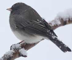 This is one of my Winter Favs,,, cutie Junco!  Photo by Chris Bosak Dark-eyed Junco during Jan. 2014 snowstorm.
