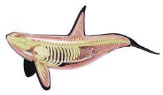 killer whale, skeleton, anatomy