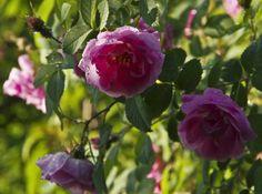 Beskjæring av buskroser Fruit, Flowers, Plants, Compost, Plant, Royal Icing Flowers, Flower, Florals, Floral
