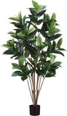 5' Rubber Plant x8 in Pot