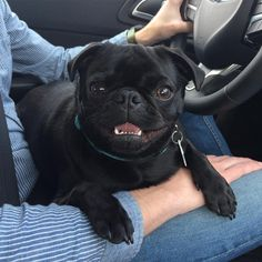 Pug in car, drivers seat