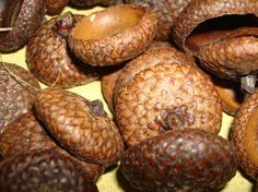 100 natural acorn caps doll hats craft flat eco by snorkelbuzz, $5.00