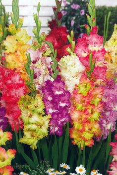 Mixed Parrot Gladiolus 10 Bulbs 10/+ cm - Ruffled Flowers - $6.99