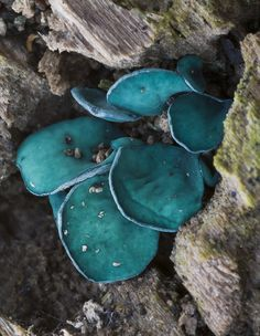 Green Elf Cups (Chlorociboria aeruginascens)