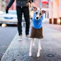"Pascal Whippet (3 y/o) Prince & Greene St. New York NY  ""He's very affectionate and highly verbal. And the softer the bed the better."" by thedogist"