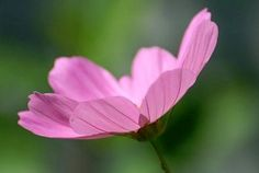 Cosmos reaching for the sun~