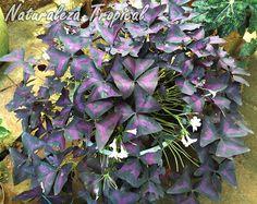 ¿Por qué debemos cultivar Falsos Tréboles o Flores de Oca en el jardín? Oxalis