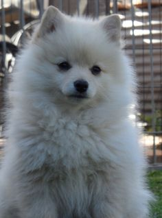 Standard German Spitz Dog Breed Information and Pictures Spitz Dog Breeds, Spitz Dogs, Samoyed Dogs, Pomeranians, Japanese Spitz Puppy, American Eskimo Puppy, Cute Dogs And Puppies, Doggies, German Spitz