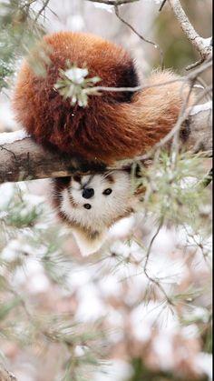 Look by Robert Duben on red panda Cute Funny Animals, Cute Baby Animals, Animals And Pets, Cute Dogs, Cute Babies, Red Panda Cute, Panda Love, Panda Kindergarten, Beautiful Creatures