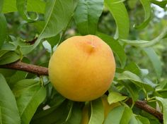 Find images of Peach. Peach Fruit, Fruits Images, Nature Images, Find Image, Orange, Vegetables, Gardening, Youtube, Animals