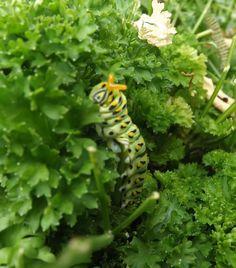 Black Swallowtail Caterpillar - 2013 - looks like I interrupted lunch! lol