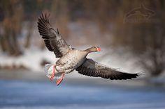 greylag goose, anser anser, husa velká