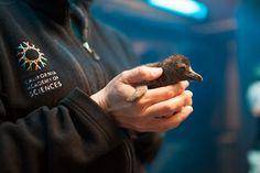 New African Penguin at California Academy of Sciences