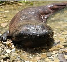 Chinese giant salamander, Andrias davidianus, checking you out.