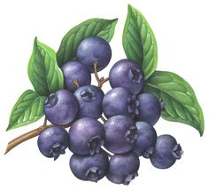 Schneider Stock Illustrations   Berries Illustrations Available for Stock Use