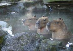 Capybara into the hot spring in Japan