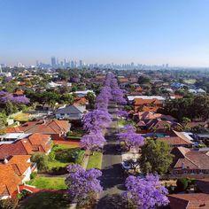 Perth, Jacaranda Blooms