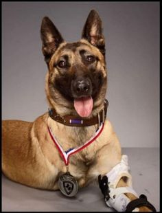 MILITARY DOG, LAYKA. A Belgian Malinois, from Galena, KS. While confronting an enemy combatant, Layka took 4 shots from an AK-47 to her shoulder. She still managed to finish the job in question and was eventually air lifted to safety.