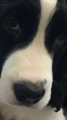 Springer Spaniel Springer Spaniel Puppies, English Springer Spaniel, Cocker Spaniel, Cute Dogs Breeds, Best Dog Breeds, Dog Nose, Cute Sheep, Dog Grooming Business, Dogs And Puppies
