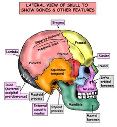 Lateral View of Skull to show bones and other features.  #DentalAnatomy…