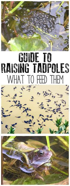 Raising tadpoles is a fantastic way for kids to connect with nature but what do you feed tadpoles as you watch them change. Discover what you can feed tadpoles at different stages of development with these easy recipes for tadpole food. #springnaturestudy #springscience #lifecycleactivities #raisingtadpoles via @rainydaymum