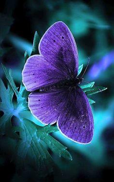 Beautiful Purple Butterfly!