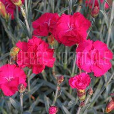 image de Dianthus gratianopolitanus Frosty Fire Rose, Unique, Flowers, Photos, Image, Drought Tolerant, Main Door, Flower Colors, Plants