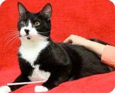 Blackwood, NJ - Domestic Shorthair. Meet Bertrude, a cat for adoption. http://www.adoptapet.com/pet/14639637-blackwood-new-jersey-cat