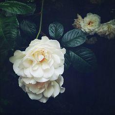 Flowers,  dark,  white flowers,  black background,  spring flowers,  spring inspiration,  fascinating flowers
