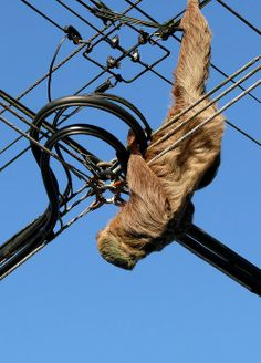This may look like the daring young #sloth on the flying trapeze....... but this is one of the main dangers that a sloth encounters in the wild. They climb across electrical wires to get across roads to get to trees for food. We have received too many sloths that have electrocuted by the wires. We are working with the Electrical Company ICE in Costa Rica to create a way that the sloths can't get onto the wires. We have to keep them safe! Read more about #sloths at: http://www.slothsanctuary.com