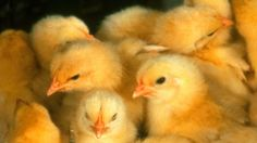 Pétition · British : Help Stop The Cruel Death of Baby Chicks · Change.org