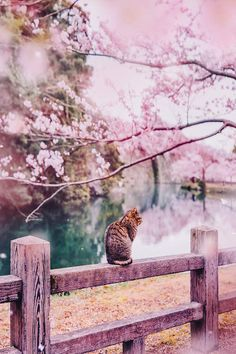Japan is a beautiful country, but, as you're about to see, it is even more so during cherry blossom season. Château De Himeji, Wallpaper Paisajes, Beautiful World, Beautiful Places, Photo Rose, Cherry Blossom Season, Cherry Blossoms, Visit Japan, Blossom Trees