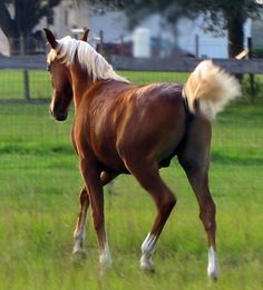 All Anglos - Breeders of National Champion Arabian and Anglo Arabian sporthorses - Royal Paarden (Sold)