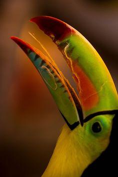 Ramphastos sulfuratus | Tucán pico iris | Keel-Billed Toucan | by beatrizconsueloarevalodemuriel